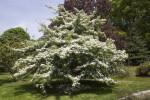 Glossy Hawthorn Tree