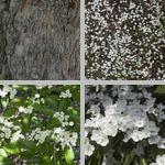Glossy Hawthorn Trees photographs