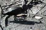 Glossy Ibis on Ground