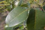 Glossy Leaves