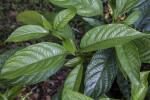 Glossy Pinwheel Jasmine Leaves