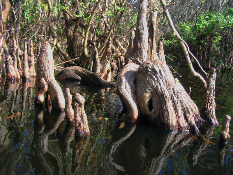 Gnarled Tree Branch in Hillsborough River