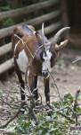 Goat at Vienna's Schönbrunn Tiergarten