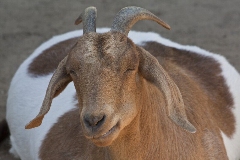 Goat Sleeping
