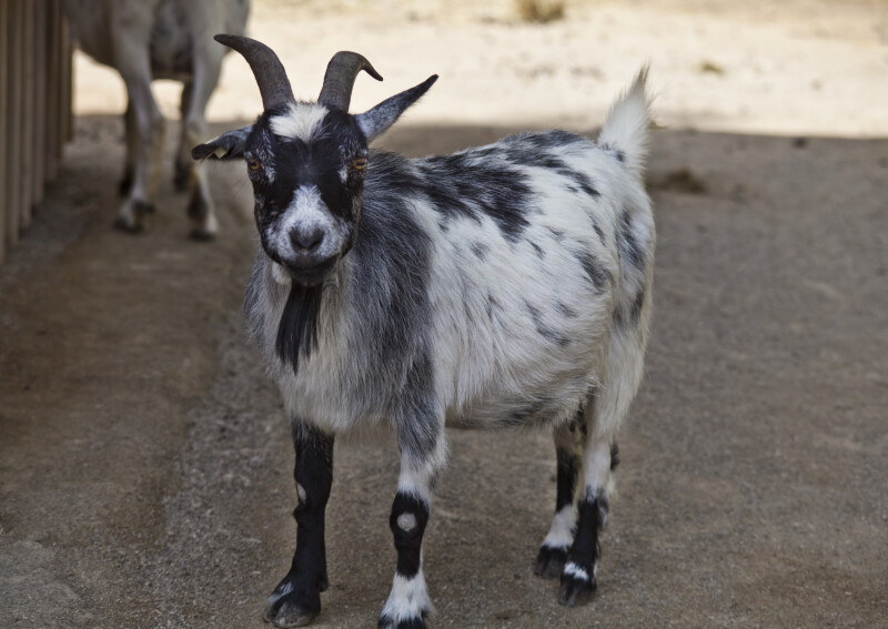 Goat with Black and White Fur
