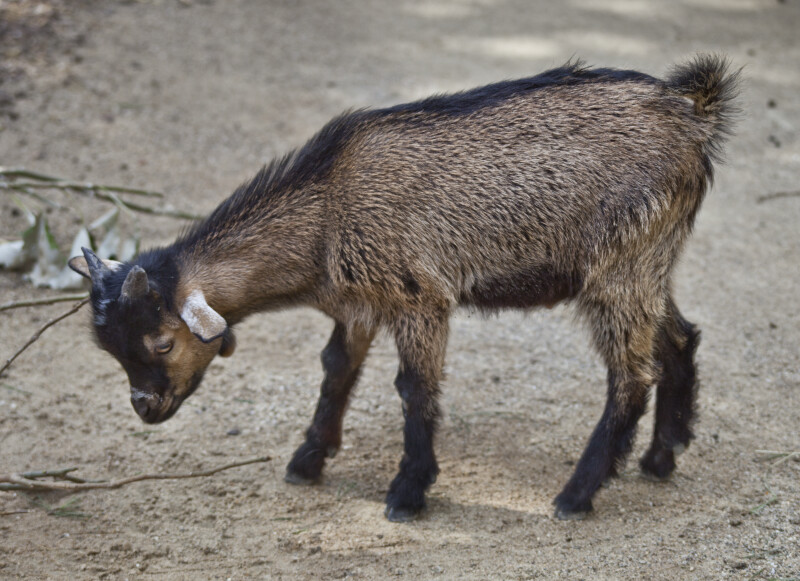 Goat with Brown and Black Fur
