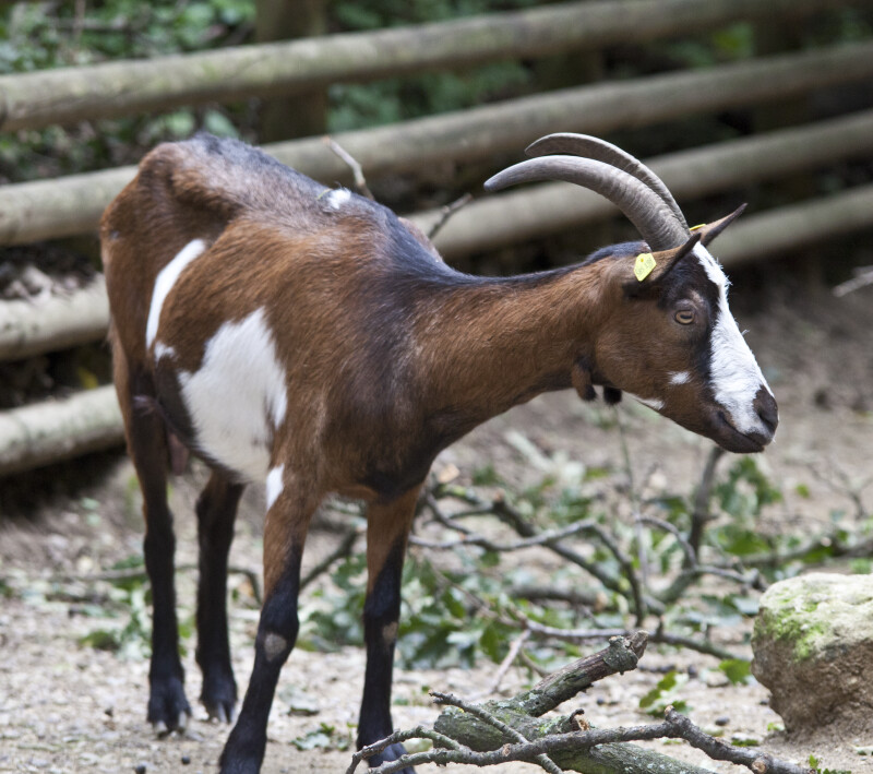 Goat with Head and Neck Turned to Left