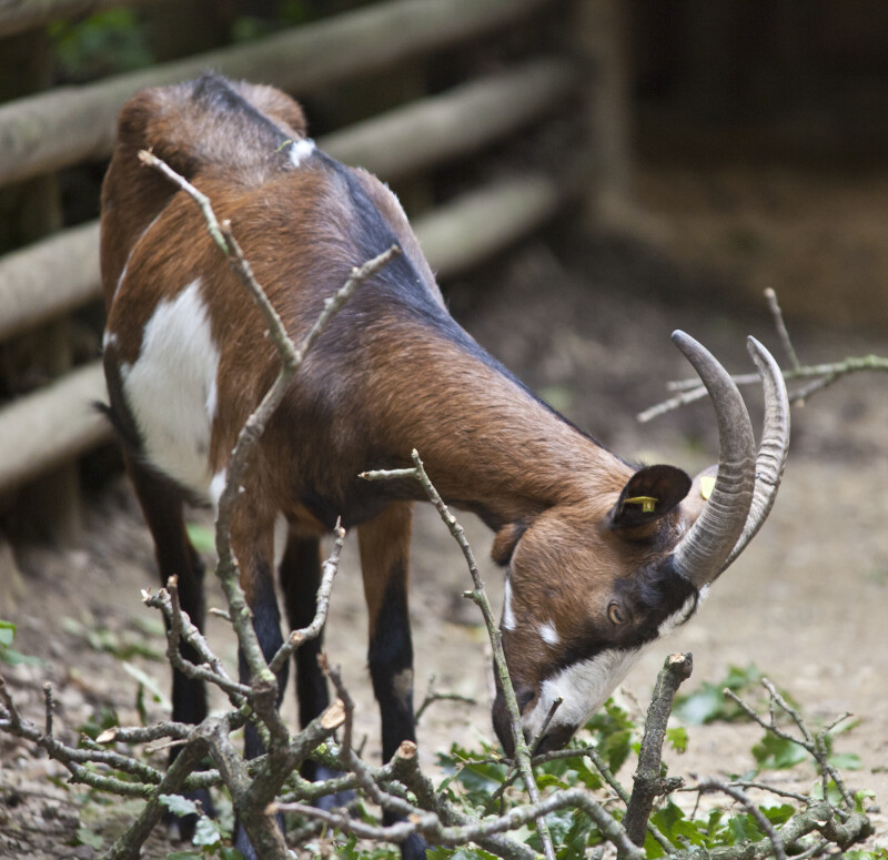Goat with its Head Lowered near Branches