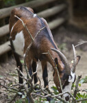 Goat with its Head Lowered to the Ground at Vienna's Schönbrunn Tiergarten
