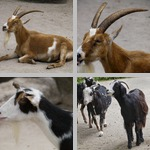 Goats photographs