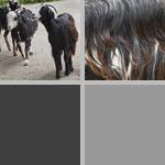 Goats photographs