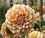"""Gödöllö"" Dahlia Flower"
