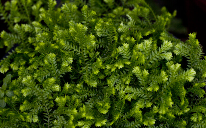 Gold Tip Club Moss