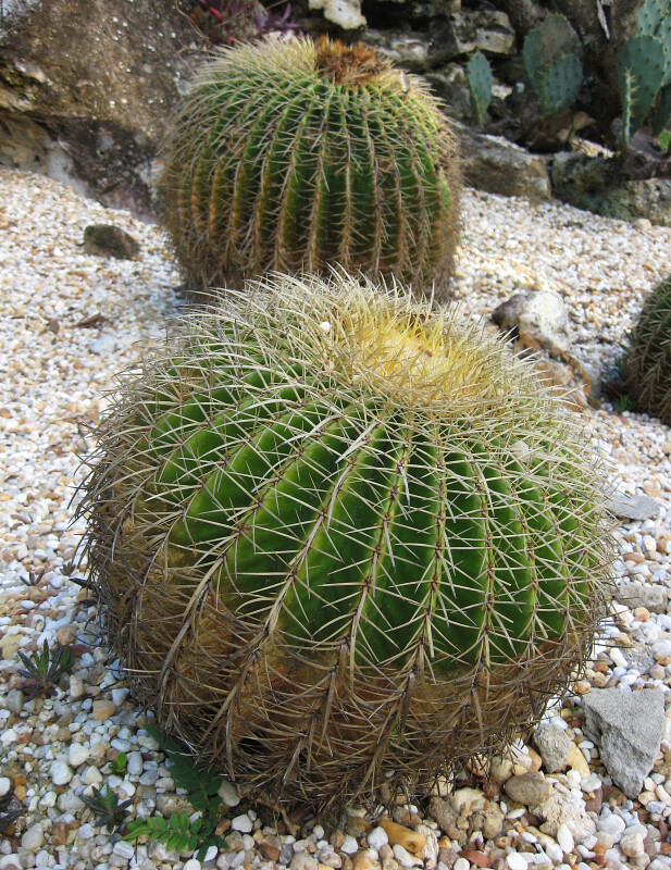 Golden Barrel Cacti
