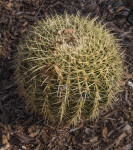 Golden Barrel Cactus at the San Antonio Botanical Garden