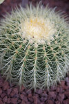 Golden Barrel Cactus Detail