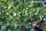 Golden Currant Branch