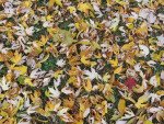 Golden Leaves in Grass