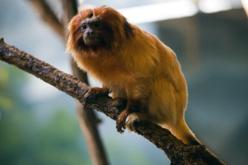 Golden Lion Tamarin on Branch