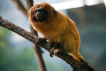 Golden Lion Tamarin on Branch