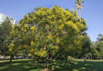 Goldenrain Tree at Capitol Park in Sacramento