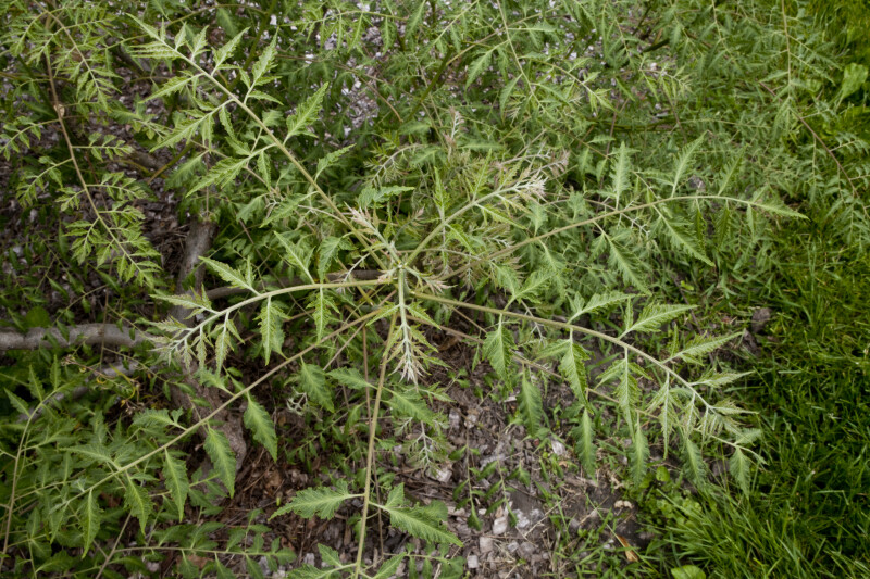 Goldenrain Tree Branches