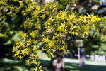 Goldenrain Tree Cluster of Yellow Flowers