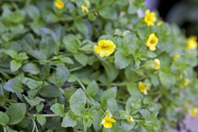 Goldflake Flowers