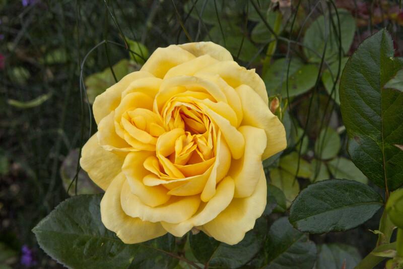 Goldina Rose