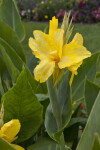 """Goldkrone"" Flower"