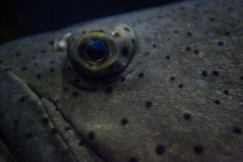 Goliath Grouper Eye