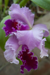 """Good News Miami"" Orchid Flower"