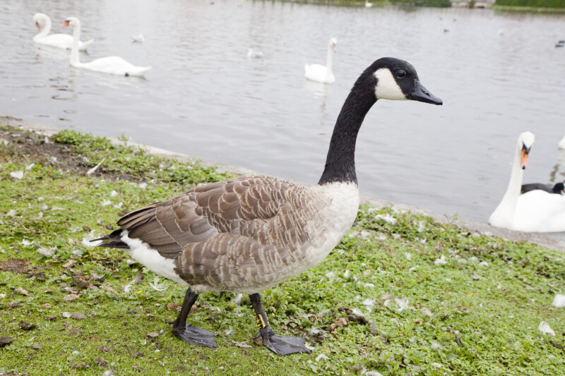 Goose on Shore