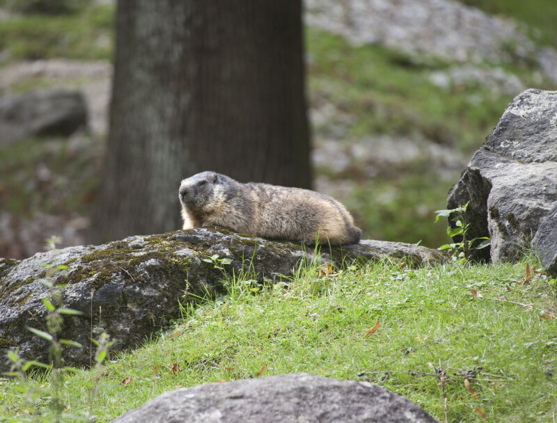 Gopher Resting On Mossy Rock