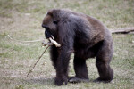 Gorilla Carrying Branch