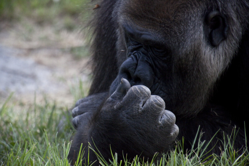 Gorilla Close-Up