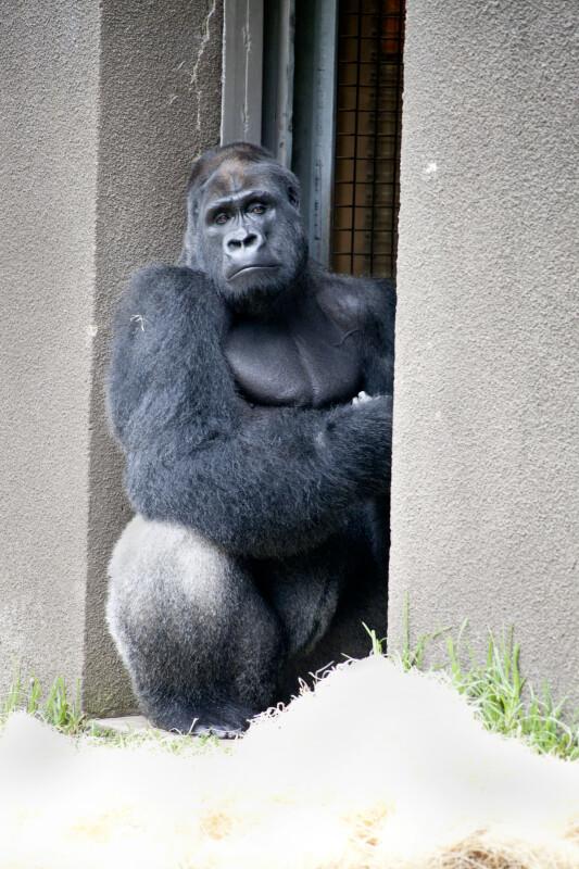 Gorilla in Alcove