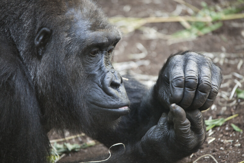Gorilla Looking at Hands