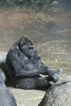 Gorilla Looking at Toes