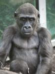 Gorilla Looking Down