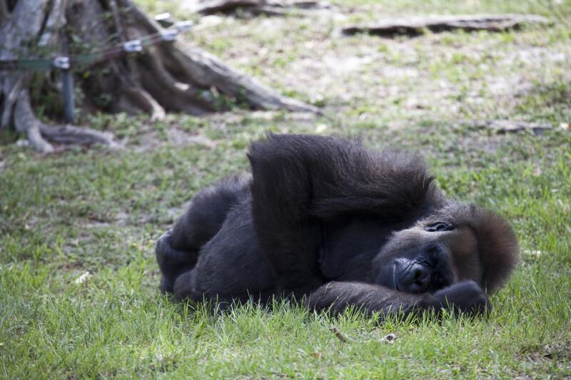 Gorilla Napping