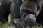 Resting Gorilla