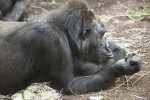 Gorilla Resting on Arms