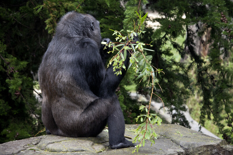 Gorilla Sitting on Rock