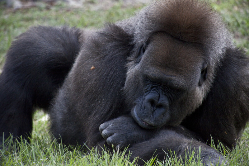 Gorilla Sleeping