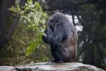 Gorilla Squatting