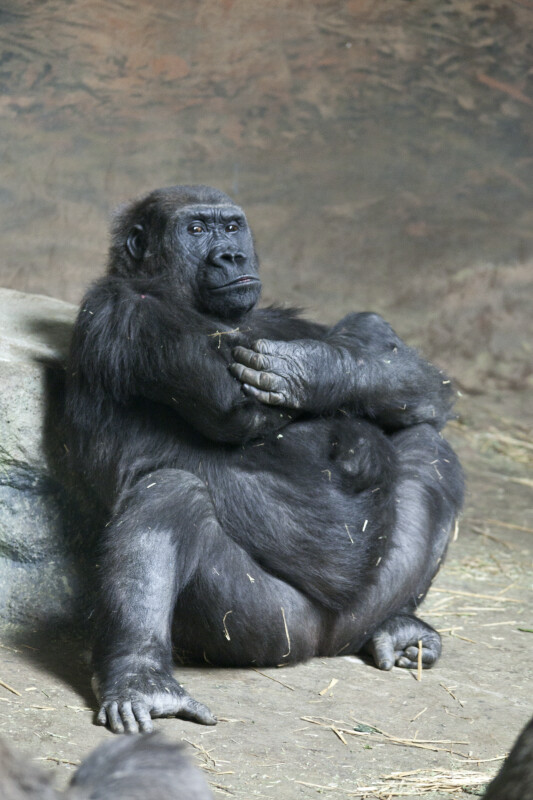 Gorilla with Arms Crossed