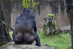 Gorilla with Branch