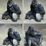 Gorillas photographs