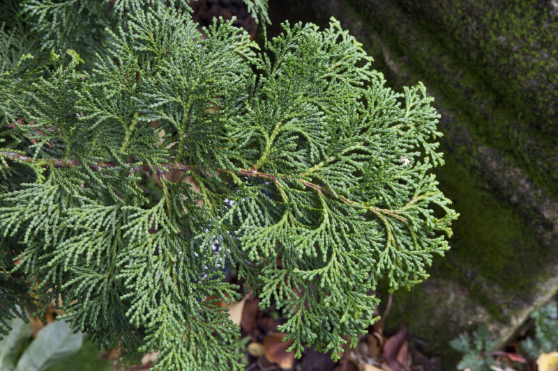 """Gracilis Compacta"" Japanese Cypress Scaly Leaves"